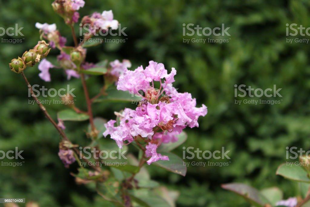 Light Pink Flower zbiór zdjęć royalty-free