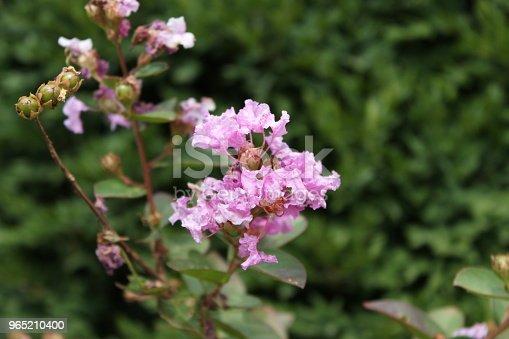 Light Pink Flower - zdjęcia stockowe i więcej obrazów Bez ludzi