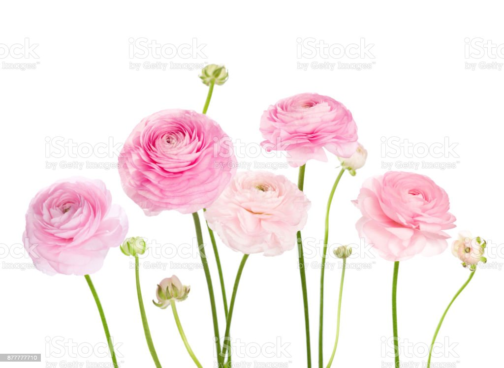 Light pink flowers isolated on white background stock photo more light pink flowers ranunculus isolated on white background royalty free stock photo mightylinksfo
