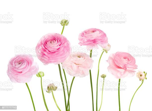 Light pink flowers isolated on white background picture id877777710?b=1&k=6&m=877777710&s=612x612&h=ynl0dipzkpukbqaejaeduvsp y3qnmjstg 7qiuthik=