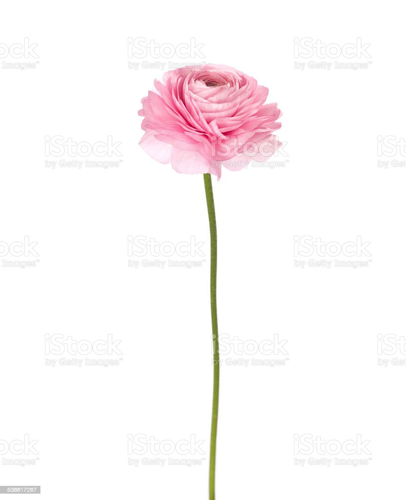 Light pink flowers isolated on white. stock photo