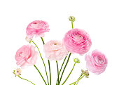 Light pink flowers isolated on white. Ranunculus