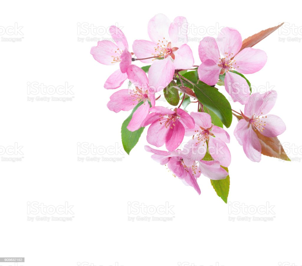 Light Pink Flowers Of Decorative Apple Tree Isolated On White
