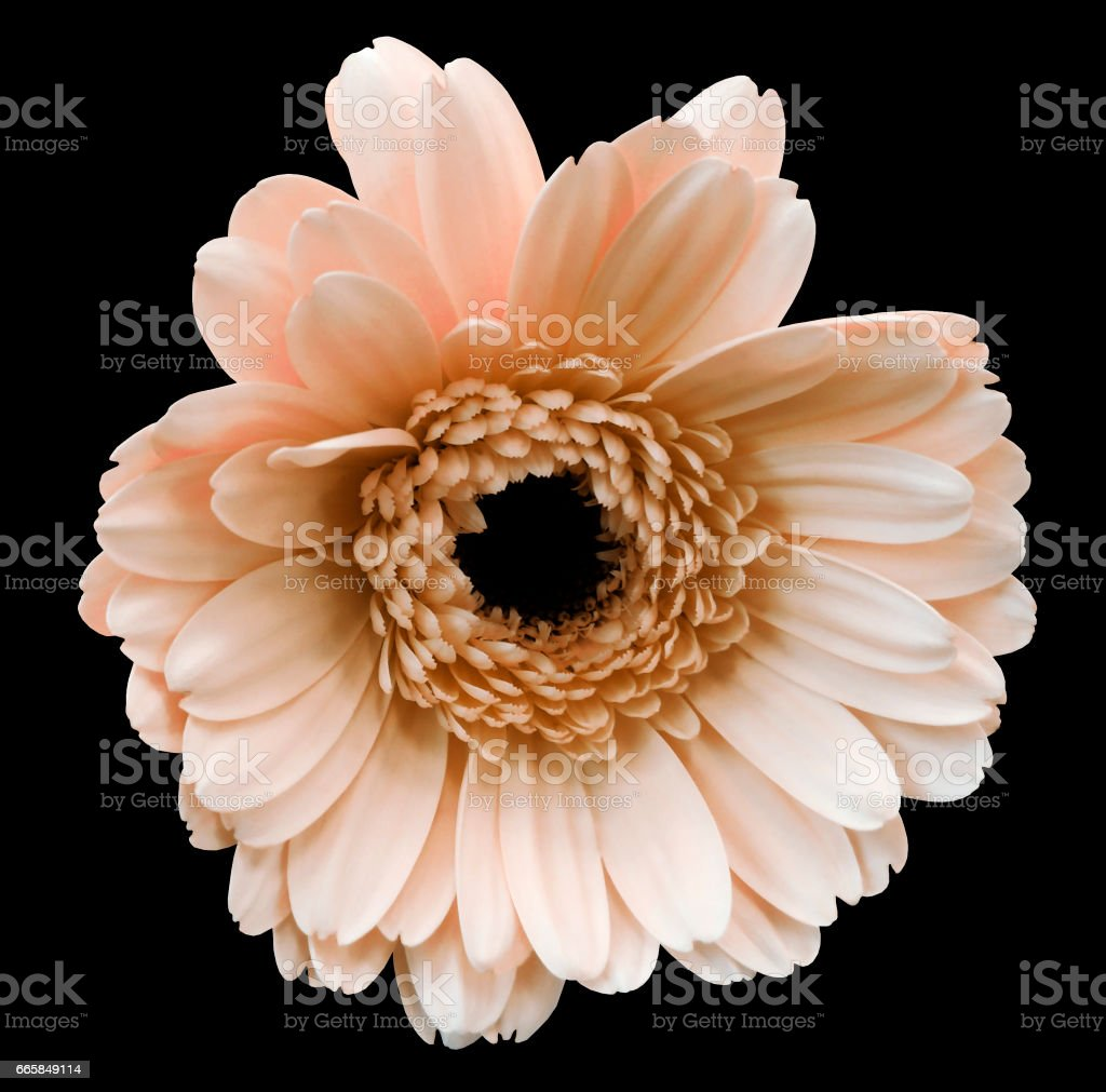 Light Pink Gerbera Flower Black Isolated Background With Clipping