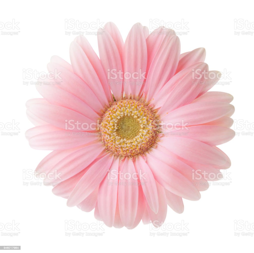 Light pink gerbera flower isolated on white background stock photo light pink gerbera flower isolated on white background royalty free stock photo mightylinksfo