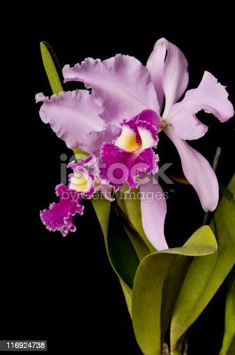 Pure light pink orchid of Venezuelan jungle.