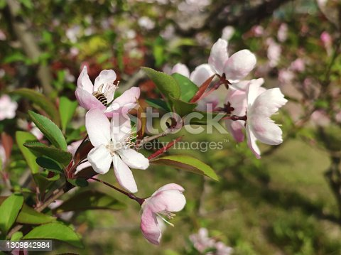 light pink Malus halliana blossoms with a bee sucking honey in sunny day in the garden