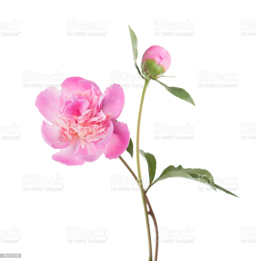 Light pink peonies  isolated on white background. stock photo