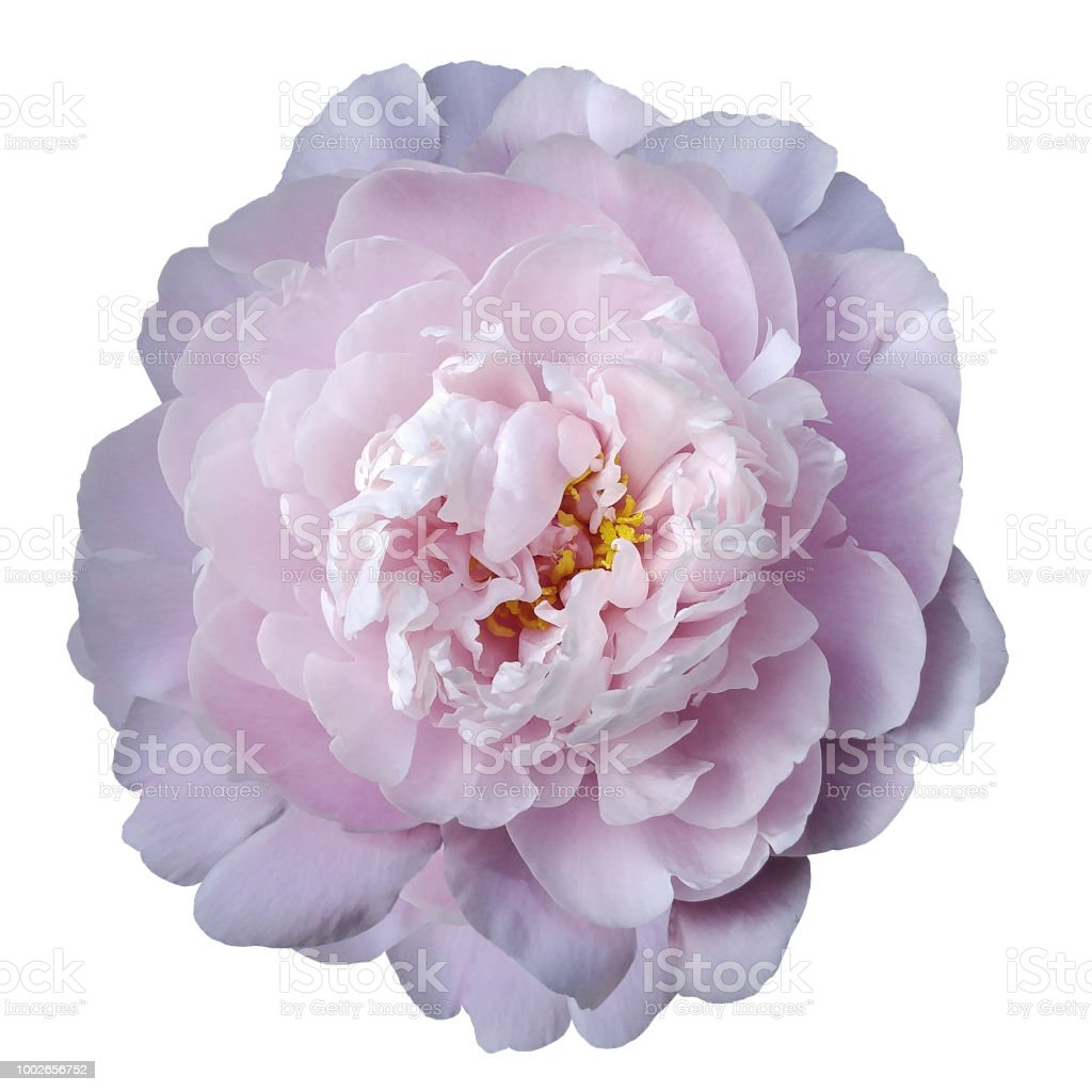 Light Pink Peony Flower With Yellow Stamens On An Isolated White