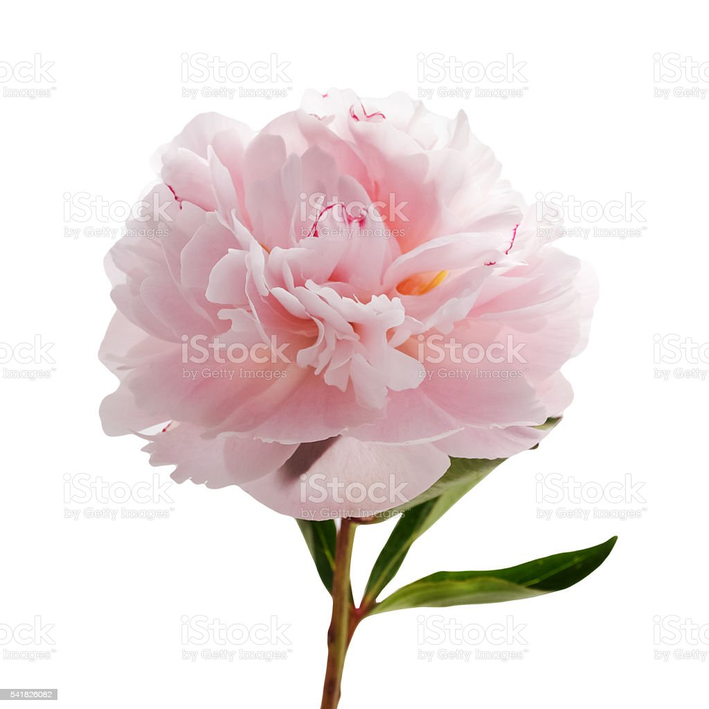 Light pink peony isolated on white stock photo