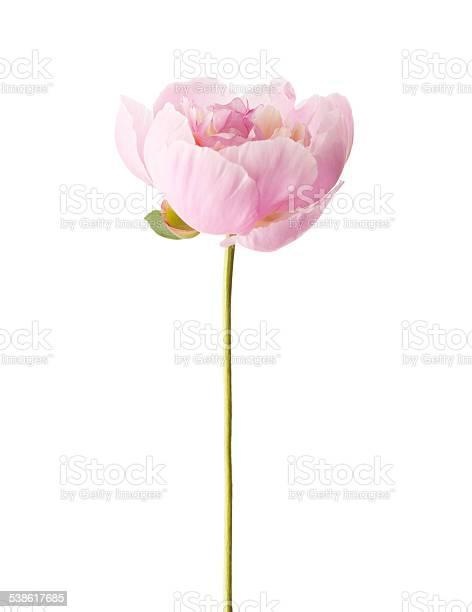 Light pink peony picture id538617685?b=1&k=6&m=538617685&s=612x612&h=6qzosjxhhlh7g69e0wqivevqp7gf v3wntzergxbgdc=