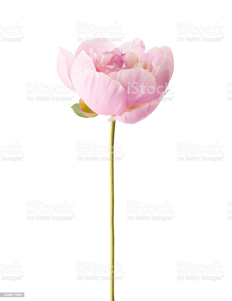 Light pink  peony stock photo