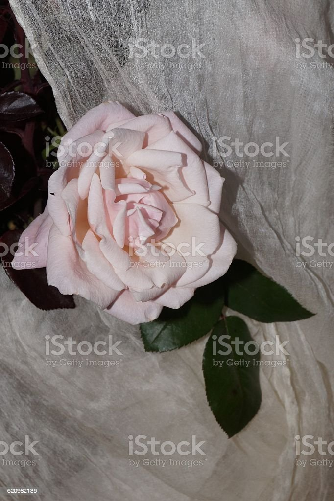 Light pink rose and white silk foto royalty-free