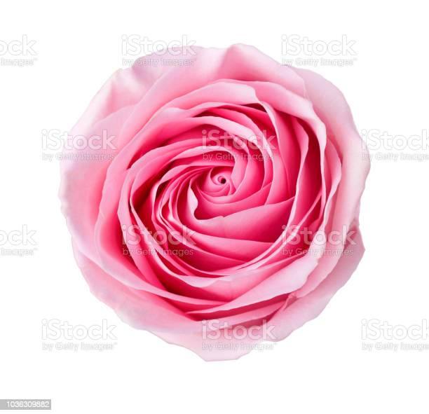 Light pink rose isolated on white background picture id1036309882?b=1&k=6&m=1036309882&s=612x612&h=fsjfa75chvbpuudggnc0zglsyw7qqnfnyolgk3krv6g=