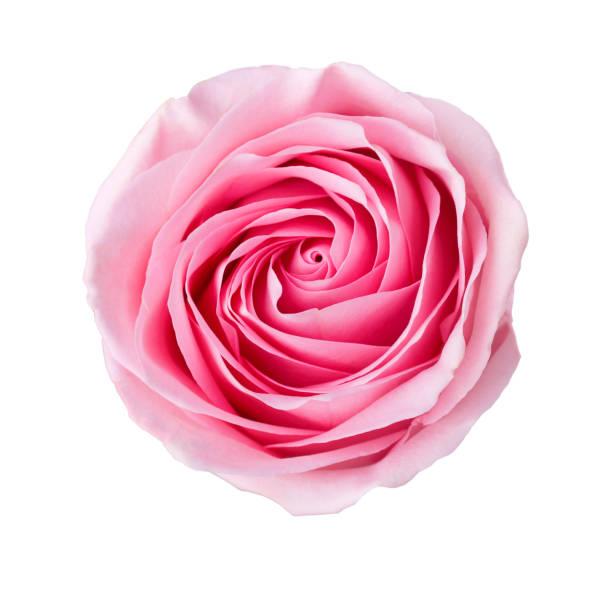 Light pink rose isolated on white background picture id1036309882?b=1&k=6&m=1036309882&s=612x612&w=0&h=oelv d80lnjxq myftkzakqqa1pqzbhkyzlwpq6quyk=
