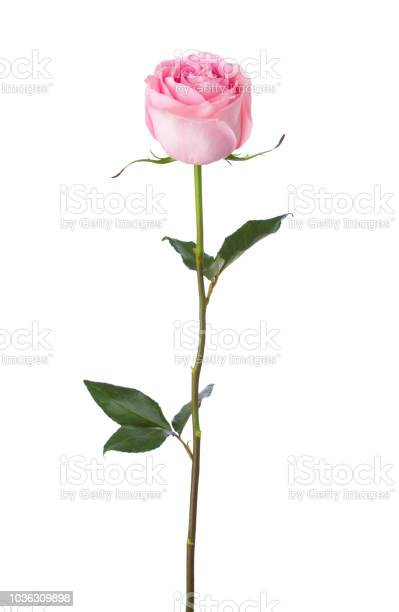 Light pink rose isolated on white background picture id1036309898?b=1&k=6&m=1036309898&s=612x612&h=ybq5 4e4suf3fmxpjcq7 g7t0ymvr mbpwafpqe 9dc=
