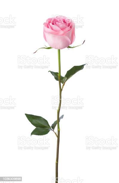 Photo of Light pink rose isolated on white background.