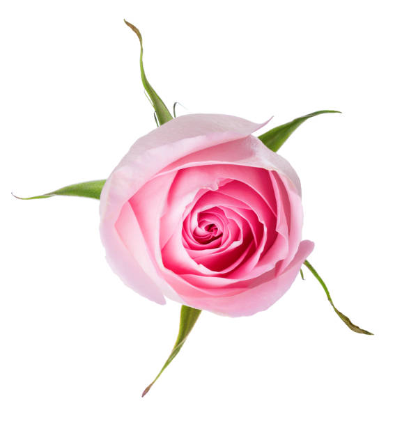 Light pink rose isolated on white background picture id1041469158?b=1&k=6&m=1041469158&s=612x612&w=0&h=qyionchsvs9hmx3gqomqpkeeqdqwitdfunyookcod9c=