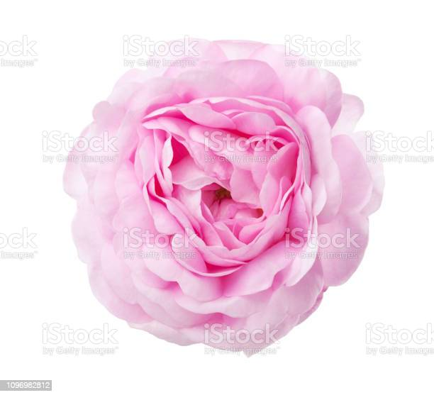 Light pink rose isolated on white background picture id1096982812?b=1&k=6&m=1096982812&s=612x612&h=ogsaxm11oi9kl1zwz8g8vynzhyyboukpu18dfvkliw8=