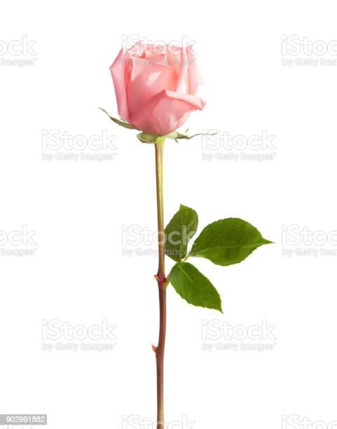 Light pink rose isolated on white background picture id902991882?b=1&k=6&m=902991882&s=612x612&h=abg6fswapca jbdocohilqan3znnagfeipluwlujmk4=