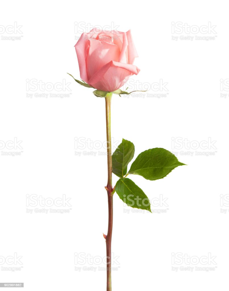 Light pink rose isolated on white background. stock photo