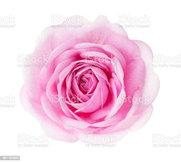 Light pink rose isolated on white background picture id961760936?b=1&k=6&m=961760936&s=612x612&h=wrw9ieiix5br1jno9ubkkigdn9mcwhdpv1tsri9swte=