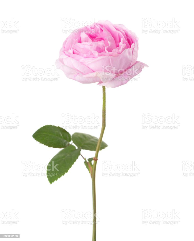 Light pink rose isolated on white. Tea rose stock photo