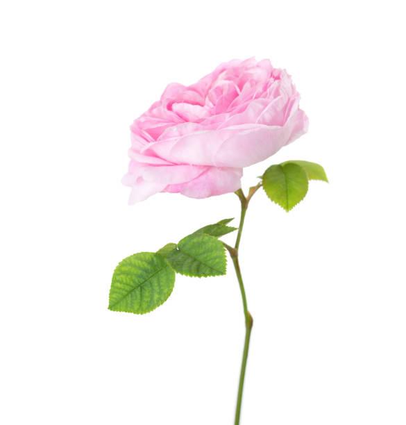 Light pink rose isolated on white. Tea rose stock photo