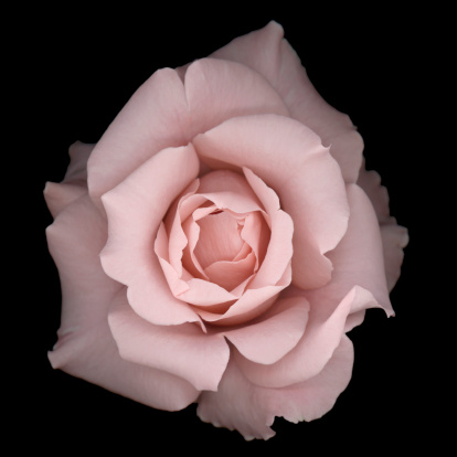 A close-up of a romantic pale pink rose isolated on a black background.  Very shallow depth of field.