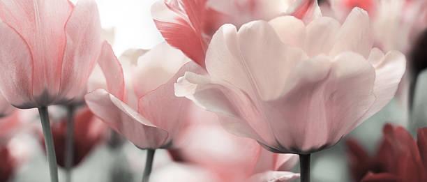 Licht Rosa getönt Frühling Tulpen – Foto