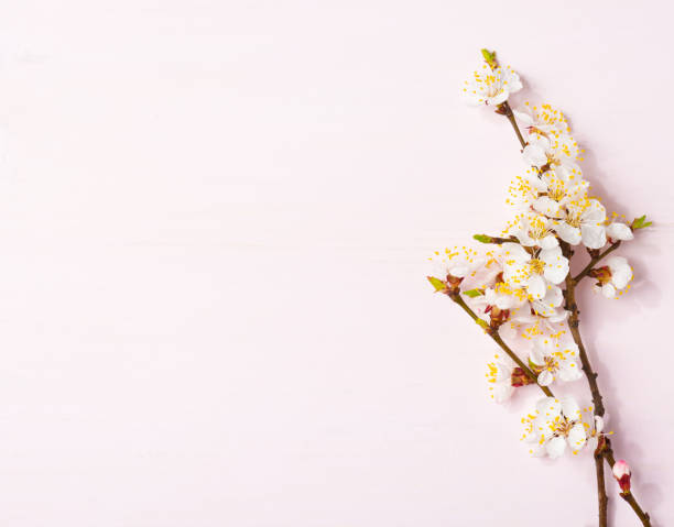 Light pink wooden background with flowering apricot branches. stock photo