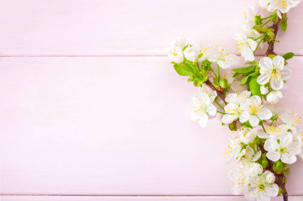 Light pink wooden background with flowering cherry branches. stock photo