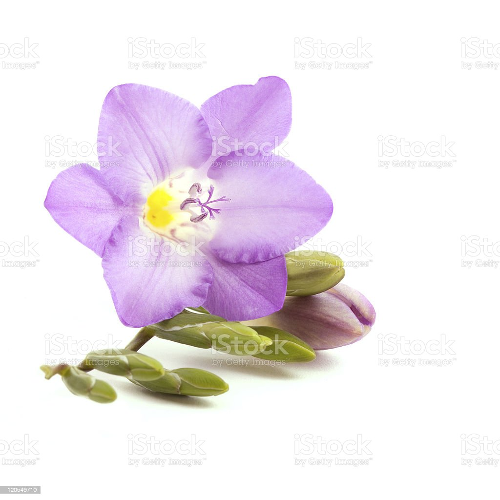 A light purple freesia flower isolated on a white background圖像檔