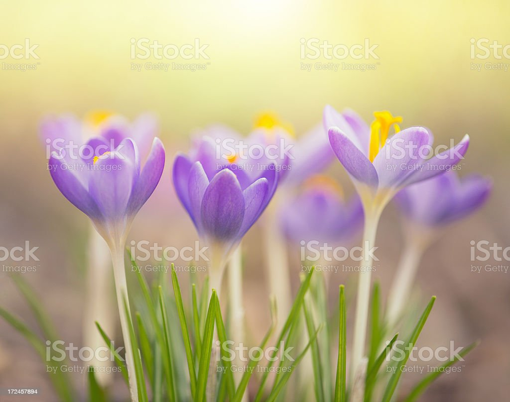 Light purple spring crocus flowers on a beautiful day royalty-free stock photo