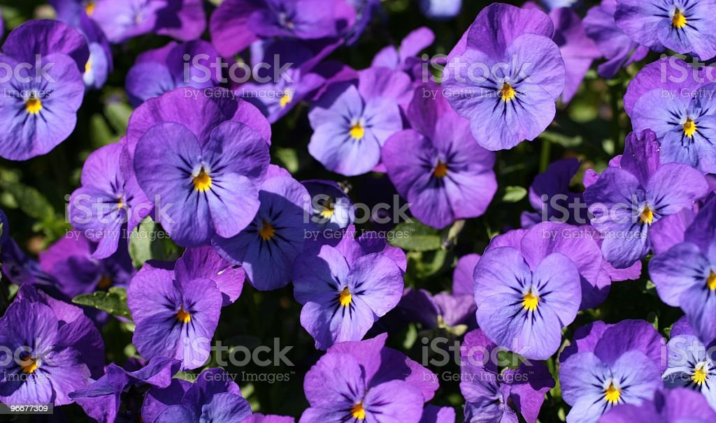 light purple violet pansies *******Click photo below to see my macro nature lightbox****** April Stock Photo