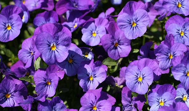 light purple violet pansies stock photo