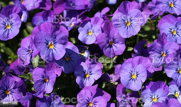Light Purple Violet Pansies Stock Photo - Download Image Now