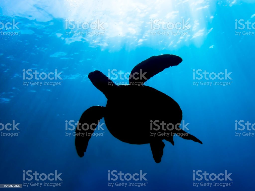 Low angle view of sea turtle in silhouette with light rays shining...