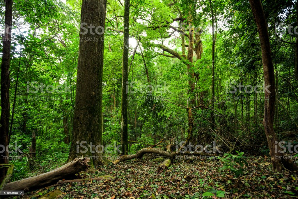 Light reaching misty deciduous stand with old linden tree stock photo