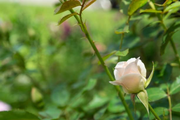 Light Rose stock photo
