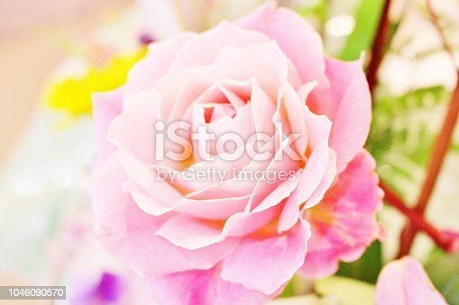 Pink rose that people love and cease