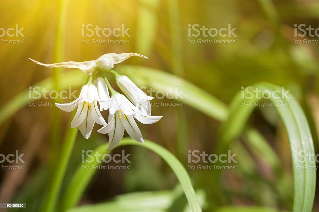 Light shining on white flowers and green leafs stock photo