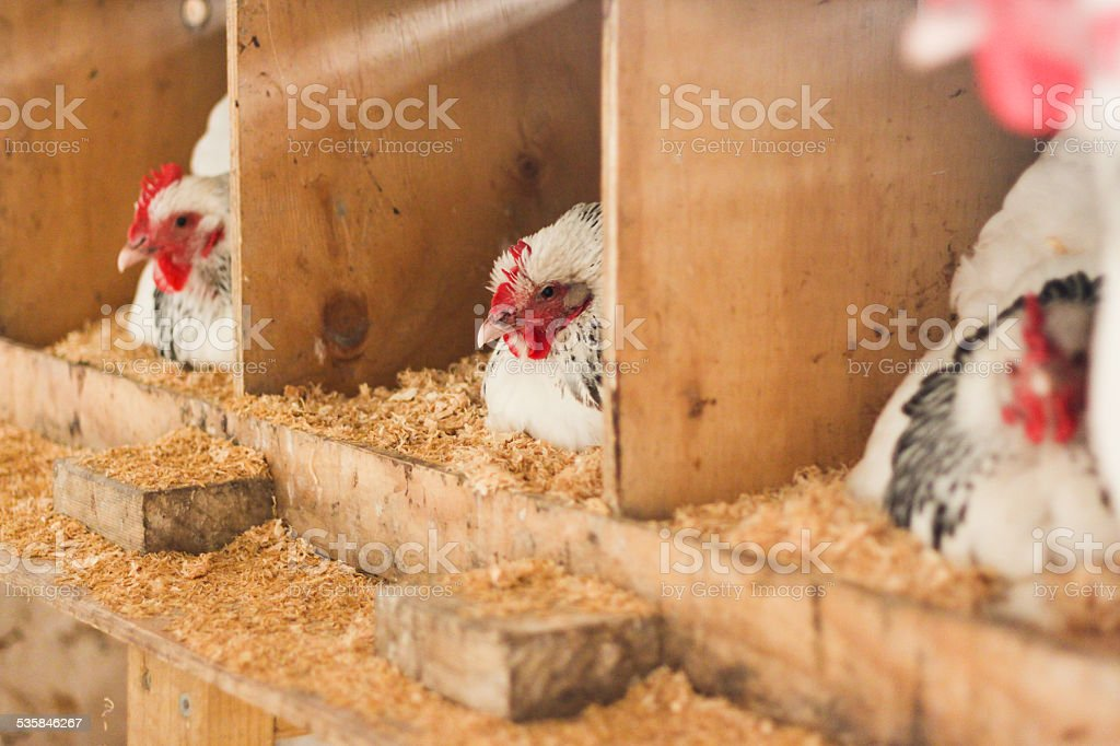 Light Sussex Chickens Laying Eggs stock photo