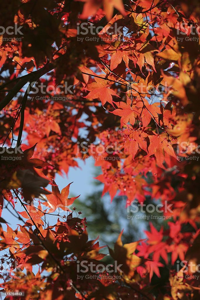 Light through japanese maple royalty-free stock photo