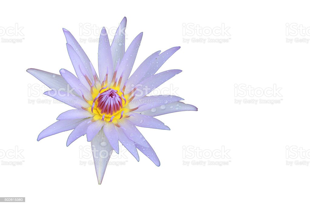 Light violet Lotus flower top view Isolated on white background stock photo