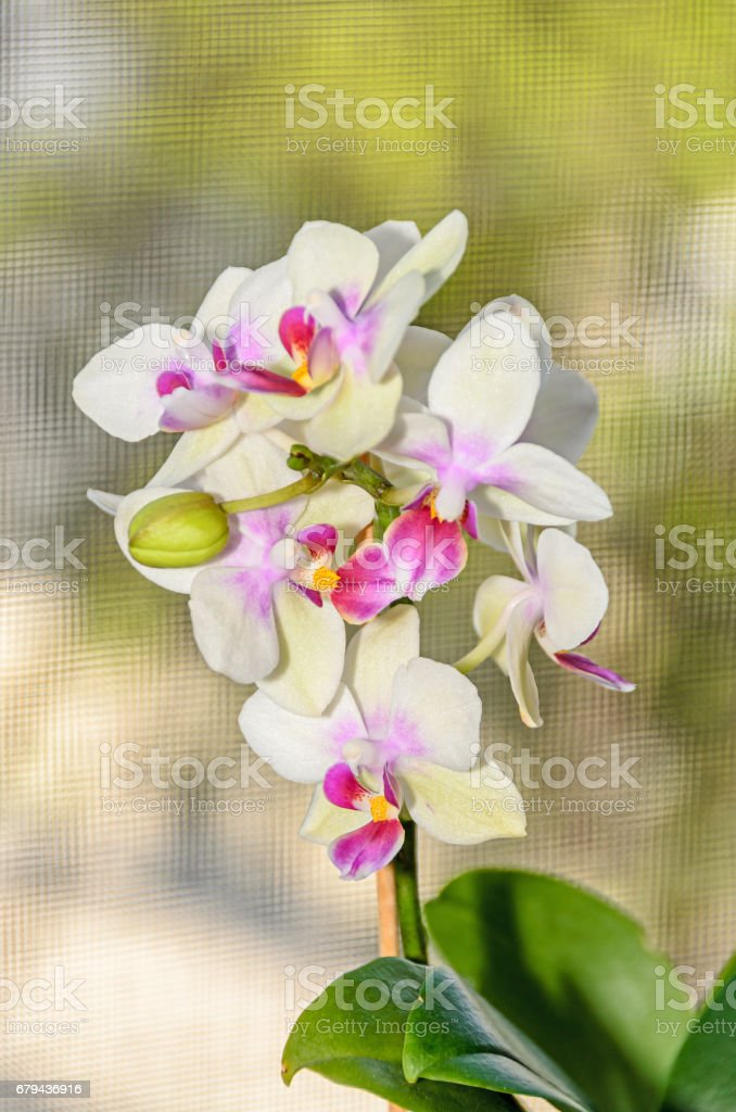 Light yellow orchid close up branch flowers, isolated on bokeh background royalty-free stock photo