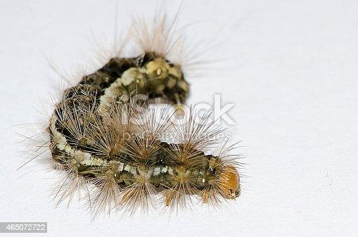 istock Lightbox catterpillar 465072722
