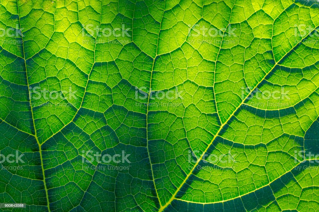 Light-flooded green leaf stock photo