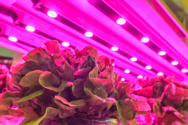 LED lighting used to grow lettuce inside a warehouse stock photo