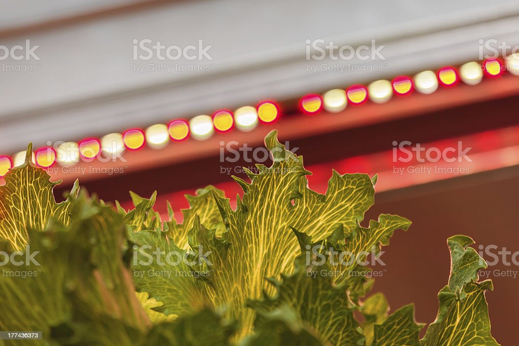 LED lighting used to grow lettuce inside a warehouse royalty-free stock photo